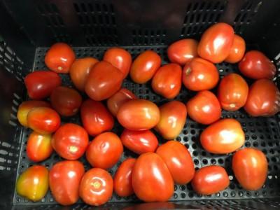 Tomates Vermelhos Sorma